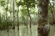 The rate of mangrove loss is higher than the loss of any other forest type. Mangroves protect coastal areas against erosion, cyclones and wind. Mangrove forests provide habitats for many animals like crocodiles and snakes, tigers, deer, otters, dolphins and birds. A wide range of fish and shellfish also depends on these coastal forests. Photo: FAO