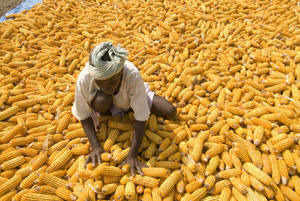 Photo of man standing in harvested corn. Olivier de Schutter, UN Human Rights Council�s Special Rapporteur on the Right to Food, says: �Food security is the elephant in the room, which WTO [the World Trade Organization] must address�, pointing out that food import bills had soared by a third for poor countries this year and that WTO rules left little space for developing country measures to improve their own food security. Photo: Bill and Melinda Gates Foundation