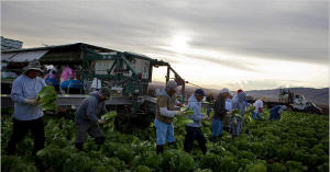 Farmworkers harvesting lettuce Photo: Annie Tritt/New York Times