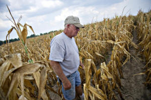 Farmer Albert Walsh walks through a drought-damaged corn field in Carmi, Ill.  Photo: Washington Post