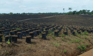 The Socfin palm oil nursery near Sahn Malen, Sierra Leone.  Photo: Christian Aid