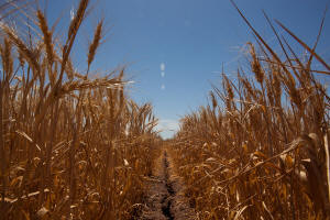 Wheat in drought conditions. Photo: Josh Haner/The New York Times