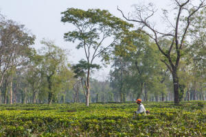 An employee of the Hattigor Tea Estate, which is owned by Amalgamated Plantations, in the northeastern Indian state of Assam in December. Photo: Himanshu Khagta/New York Times