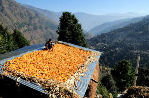 Harvested corn drying on a rooftop in Himachal Pradesh, India.  Efforts at ending hunger are now focusing on reducing poverty rather than increasing production. Photo: Neil Palmer/CIAT