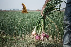 A worker holds onions grown on a plot of land sought by India's state-owned National Thermal Power Corporation. Photo: Enrico Fabian/Washington Post