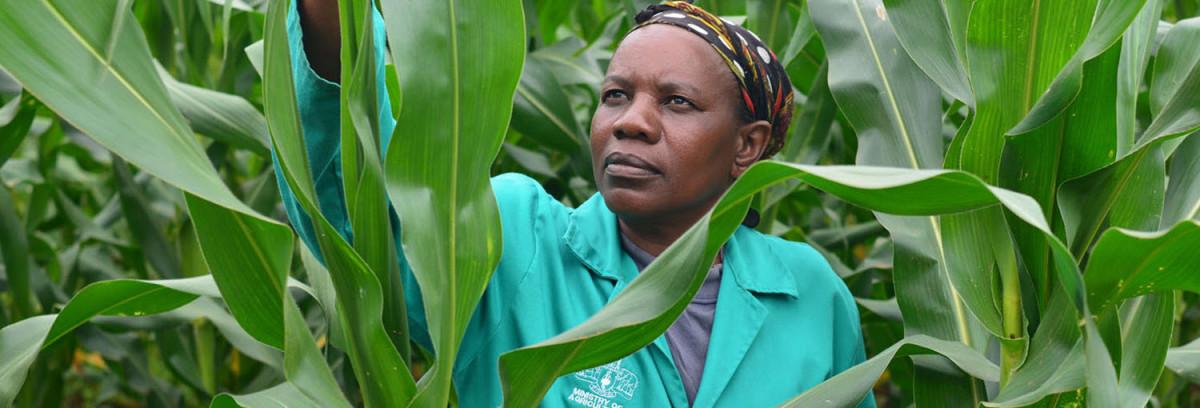 swaziland_corn