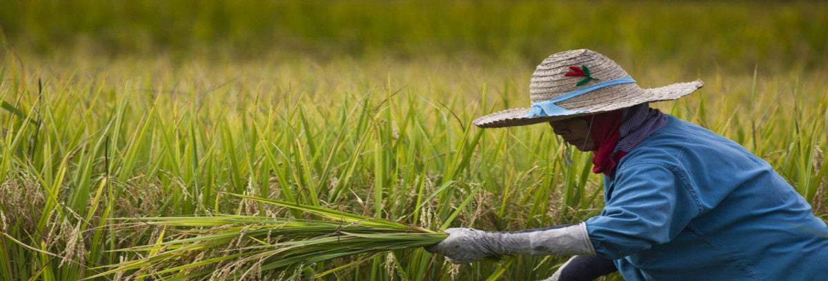 Thai farmers harvest rice near Ta Pra Mok, Thailand. Rice is the staple food for more than half the world's population including 640 million people living in Asia. © International Rice Research Institute