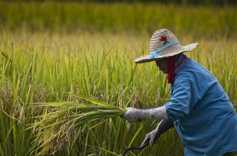 thailand_farmer_harvesting_rice