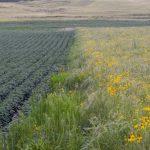 A prairie strip filled with black-eyed Susans lies next to soybeans on Smith's farm. Photo: Andrew Dickinson/The Washington Post