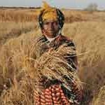 A woman farmer in The Gambia shows a dry tuft of rice in a drought period. Photo: FAO