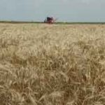 Wheat field at harvest time. Photo: Texas A&M AgriLife Extension Service/Blair Fannin