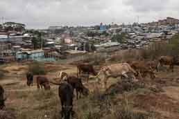 Grazing on the outskirts of Kibera, a Nairobi slum. Photo: Andrew Renneisen / The New York Times