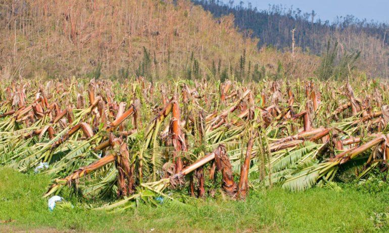 Hurricane Irma Devastated Already Vulnerable Agriculture in Haiti