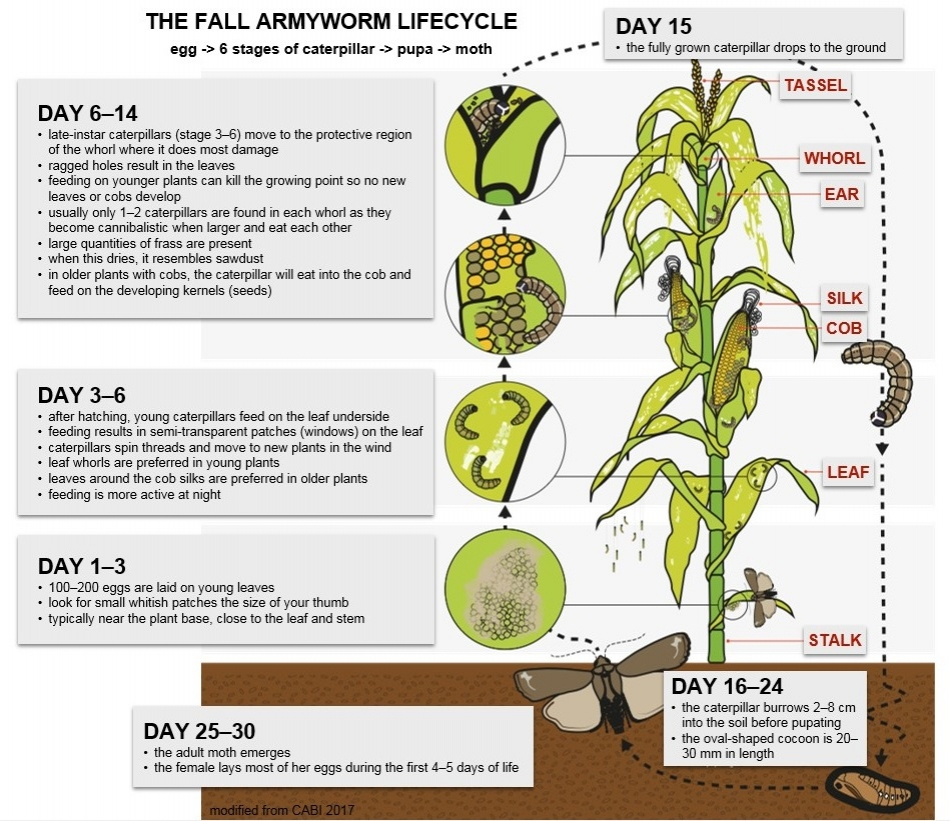 Five things to know about African farmers' latest foe – the Fall Armyworm