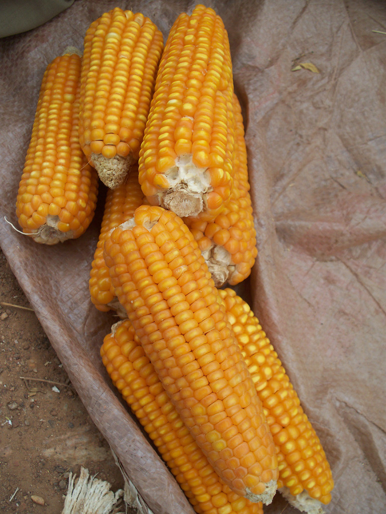 Look beyond maize to ensure food security